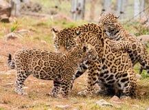 Jaguar cub Stock Image