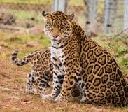 Jaguar cub Stock Photos