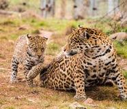 Jaguar cub Royalty Free Stock Photography