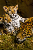 Jaguar Cubs. Two little Jaguar Cubs and their mother resting after a playtime Royalty Free Stock Image