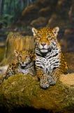 Jaguar Cubs Fotos de Stock Royalty Free