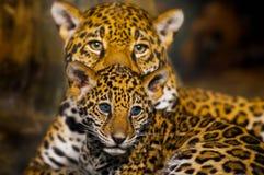 Jaguar Cubs Stock Image