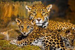 Jaguar Cubs Obrazy Royalty Free