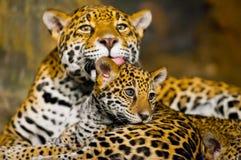 Jaguar Cubs Foto de Stock