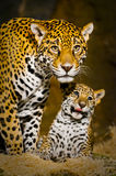 Jaguar Cubs. Little Baby Jaguar playing with its mother Stock Photo