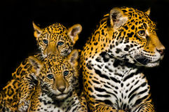 Jaguar Cubs Royalty Free Stock Photography