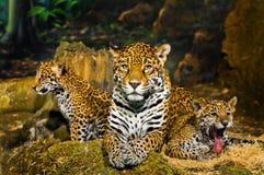 Jaguar Cubs Imagen de archivo