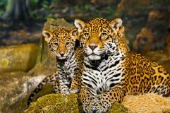Jaguar Cubs. Little Baby Jaguar playing with its mother Stock Photos