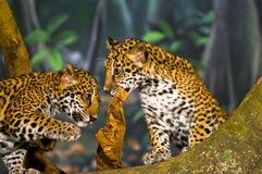 Jaguar Cubs Imagenes de archivo