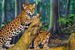 Jaguar Cubs Fotografía de archivo libre de regalías