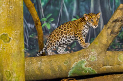 Jaguar Cubs Fotos de Stock Royalty Free