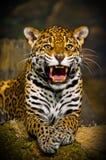 Jaguar Cubs Royalty Free Stock Images