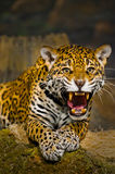 Jaguar Cubs Stock Photography