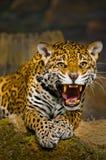 Jaguar Cubs stock photography