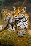 Jaguar Cubs Royalty Free Stock Photo