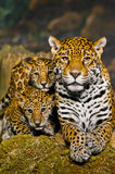 Jaguar Cubs Stock Photo