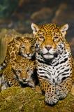 Jaguar Cubs stock photo