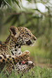 Jaguar cubs in grass Stock Photos