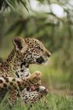 Jaguar cubs in grass stock photos