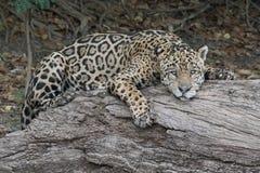 Jaguar dåsa Arkivbilder