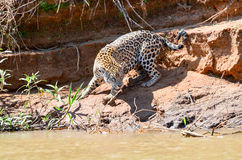 Jaguar da caça Imagem de Stock Royalty Free