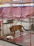 Jaguar dans la cellule Photographie stock