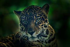 Jaguar in dark forest. Detail head portrait of wild cat. Big animal in the nature habitat. Jaguar in Costa Rica tropic forest. Clo. Jaguar in dark forest. Detail Royalty Free Stock Photography
