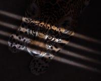 Jaguar in the dark Royalty Free Stock Images