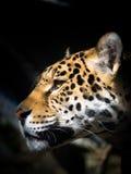 Jaguar, das in Abstand anstarrt Lizenzfreies Stockbild