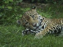Jaguar, das im Gras blickt in Richtung der Kamera liegt Stockfotos