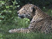 Jaguar, das im Gras schaut zur Seite liegt Stockfoto