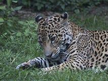 Jaguar, das im Gras unten schaut liegt Stockbild