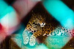 Jaguar, das im Käfig in einem Zoo in Indien sitzt stockfotos