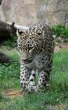 Jaguar de chasse Photographie stock libre de droits
