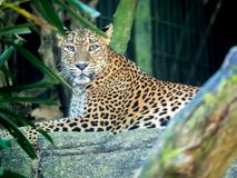 Jaguar de détente, portrait en gros plan photographie stock libre de droits