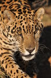 Jaguar de desengaço Imagem de Stock