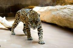 Jaguar de establecimiento del paso Fotografía de archivo libre de regalías