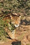 Jaguar de égrappage Photographie stock