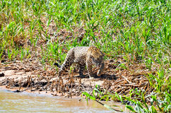 Jaguar de la caza Imagen de archivo libre de regalías