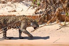 Jaguar de la caza Imagen de archivo