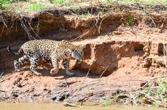 Jaguar de la caza Foto de archivo