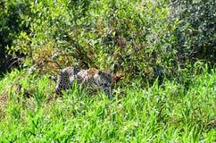 Jaguar de la caza Fotografía de archivo