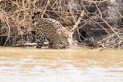 Jaguar de Pantanal, Br?sil photographie stock