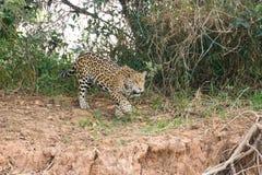 Jaguar de Pantanal, Brasil Fotografia de Stock