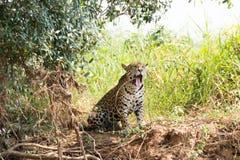 Jaguar de Pantanal, el Brasil imágenes de archivo libres de regalías