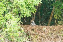 Jaguar de Pantanal, el Brasil imagenes de archivo