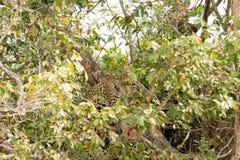 Jaguar de Pantanal, el Brasil fotografía de archivo libre de regalías