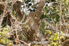 Jaguar de Pantanal, el Brasil imagen de archivo libre de regalías