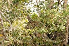 Jaguar de Pantanal, el Brasil imagen de archivo