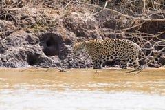 Jaguar de Pantanal, el Brasil fotos de archivo
